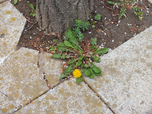 Dandelions and weeds growing in walkway