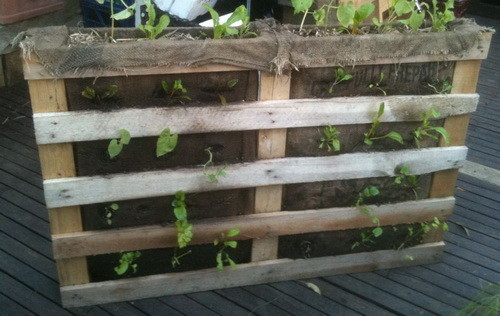Pallet garden with tomato plants
