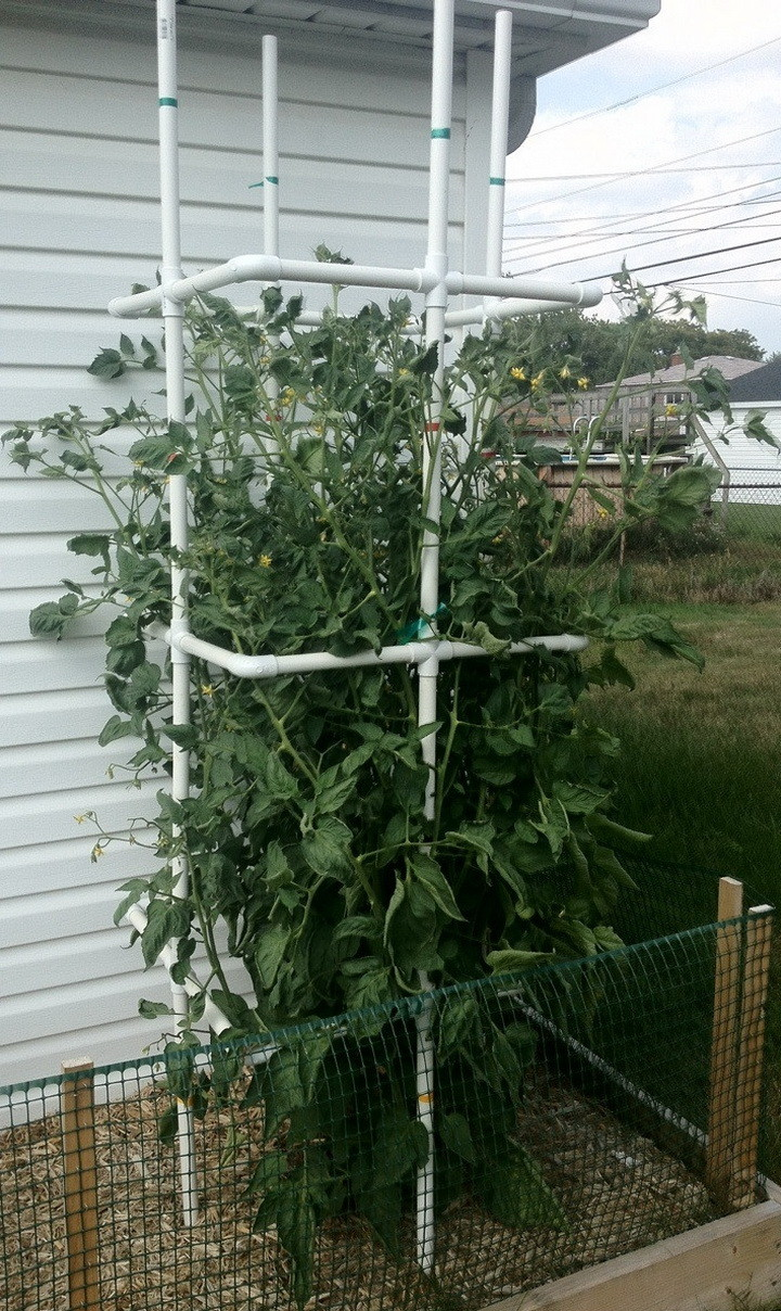 Tomato plant cage made from PVC pipe