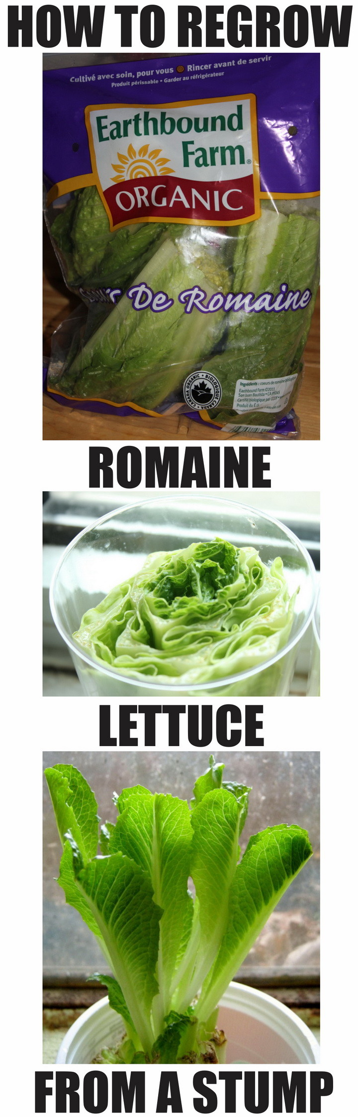 grow romaine lettuce