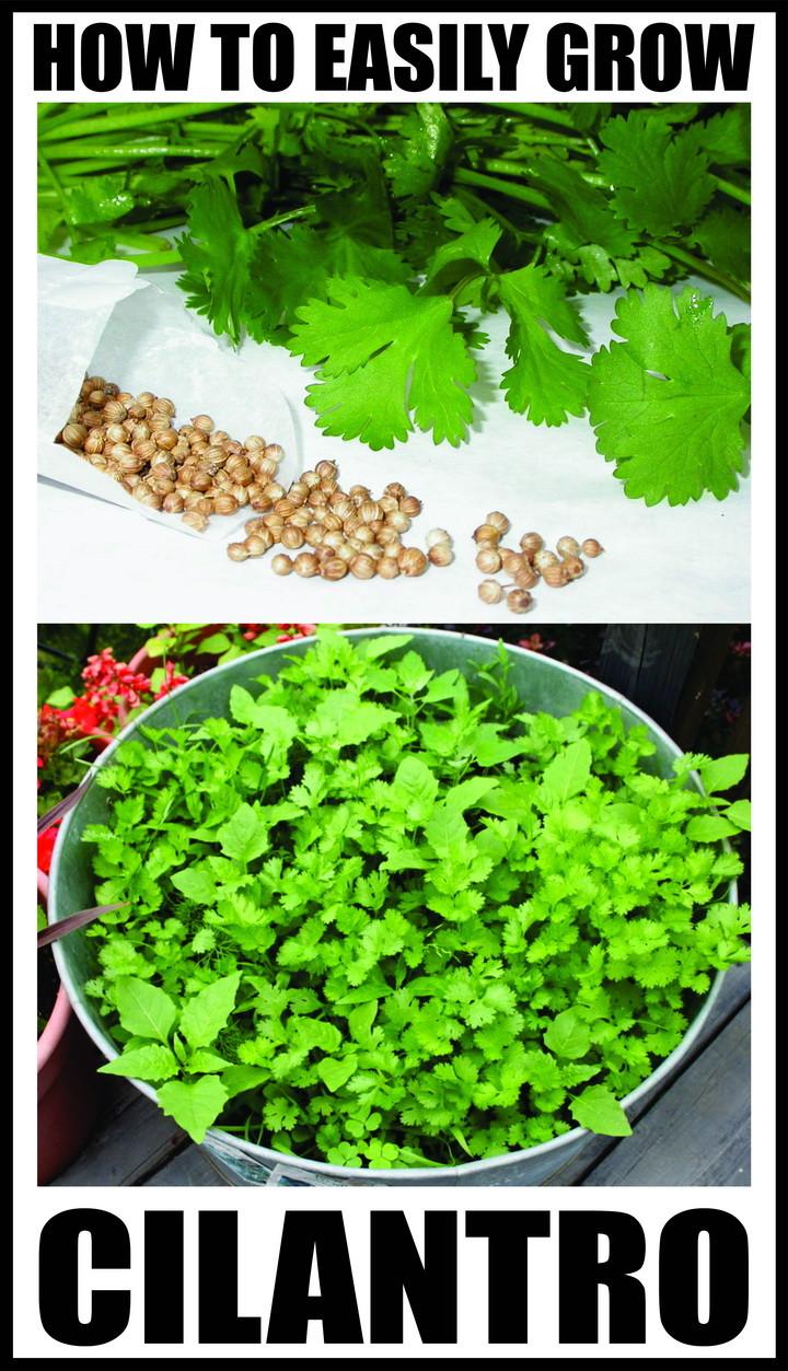 how to easily grow cilantro